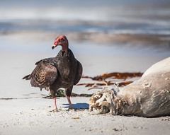 Vulture and seal (Rachel Dunsdon) Tags: california sea food usa beach seal 17miledrive vulture route1