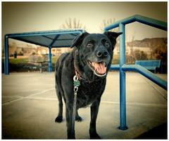 Bodi lomo-style (G.E.Condit) Tags: dog lomo labrador blacklab