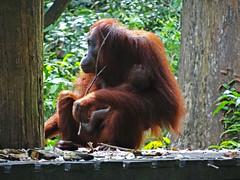 Mother and baby, Sepilok, Borneo (jonhuskisson) Tags: asia seasia southeastasia malaysia borneo sabah sepilok orangutan ape monkey primate wild animal sanctuary wildlifesanctuary travel backpacking culture animals nature