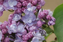 Micheal Buchner (north_wildbird) Tags: lilac lilacs vulgaris syringa vision:plant=0843 vision:outdoor=0942 vision:flower=0509