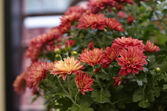 chrysanthemum (ddsnet) Tags: plant flower sony taiwan cybershot taipei    chrysanthemum      rx10  shilinresidencechrysanthemumfestival