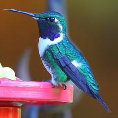 Colibr 4 (Jos M. Arboleda) Tags: bird canon eos colombia hummingbird jose ave 5d colibr arboleda markiii trochilidae ef400mmf56lusm coconuco apodiforme mygearandme josmarboledac blinkagain troquilinos