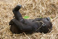 2013-12-21-11h08m25.272P4413 (A.J. Haverkamp) Tags: amsterdam zoo gorilla thenetherlands artis dierentuin shambe canonef70200mmf28lisusmlens httpwwwartisnl pobamsterdamthenetherlands dob04092011