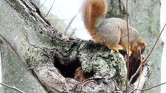 Squirrel Squabble (dhkaiser) Tags: dan squirrel kaiser squabble