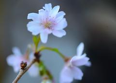 Early Cherry Flower (love_child_kyoto) Tags: winter flower nature spring kyoto   sakura cherryblossoms myfavorite     masterphotos    dreamlikephotos lovelynewflickr pandaonflickr oikezakura