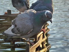 Pigeon On The Lookout (Harry S (Age 7)) Tags: park city lake bird london water fence nikon pigeon greenwich coolpix