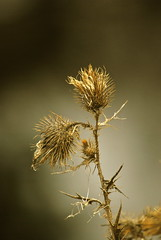 Winter Weed (Dan Daniels) Tags: weeds macrophotos audand
