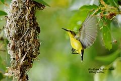 DSC00144_DxO (teckhengwang) Tags: nest sony olive backed nesting sunbird a77 sal70400g