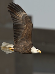 Bald Eagle (digiphotonut) Tags: winter illinois baldeagle raptor mississippiriver alton melvinpricelocksanddam {vision}:{outdoor}=0706