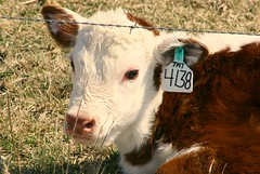 Spring Calf (Focused Fun) Tags: cow illinois farm calf colchester mcdonoughcounty