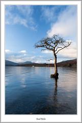 Lone tree of Milarochy (flatfoot471) Tags: winter rural landscape scotland lochlomond stirlingshire millarochybay