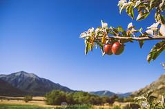 Wild harvest (Sun Spiral) Tags: newzealand mountains southisland apples aotearoa
