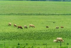MooCows (jmishefske) Tags: county june nikon cattle cows feeding v1 grazing walworth 2014