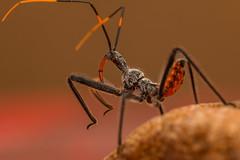 wheel bug nymph (Brian-D) Tags: macro wheel closeup canon bug insect sigma os nymph assassin 150mm briand