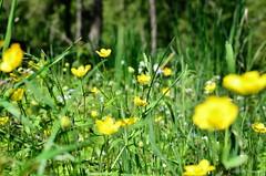 Prairie de montagne (Totydus) Tags: mountain flower green nature fleur yellow jaune montagne vert prairie