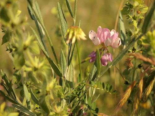 Small pink meadow flower