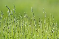 Ferrassieres - juin 2014 -0172.jpg (bobpado) Tags: flowers france fleurs canon eos flor lavender provence lavande lavanda sudest 60d