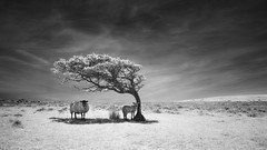 Refuge - Commended: Landscape Photographer Of The Year 2014 (Russ Barnes Photography) Tags: summer blackandwhite tree mono nikon sheep monochromatic shade infrared wilderness refuge d800 exmoor 720nm nikkor1424mm28g russbarnes