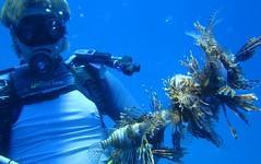 Lionfish bush on a spear (MyFWC Research) Tags: florida research lionfish floridakeys invasive marinelife pteroisvolitans fwc exoticspecies myfwc myfwccom