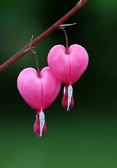 Two Hearts (Karen_Chappell) Tags: pink two flower green nature floral garden heart bleedingheart canonef100mmf28usmmacro