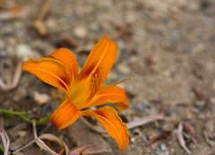 DSC_1669 (Ste.Viaggio) Tags: flowers macro nikon fiore viaggio stefano giardino d7100 stevia1980 stevia80 steviaggio