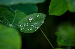 (thibaudfurst) Tags: water drops tropaeolum deau nasturtium capucine goute