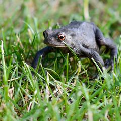 Wir schauten uns verliebt in die Augen... (Rainer ) Tags: nature fairytale natur 85mm frog frosch froschknig thefrogprince unsergarten rainer
