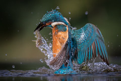 Emergence II (Mr F1) Tags: kingfisher alcedoathis wild johnfanning hide blue fish colourful colour color water emergence electric