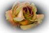 Melange (Jack o' Lantern) Tags: roses masterphotos
