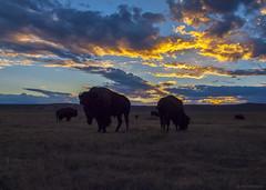 Bison at Sunset (phoGARDENtog) Tags: bison colorado fortcollins soapstone soapstonepraisenaturalarea