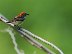 Scarlet flowerpecker (Emu Alim) Tags: afsnikkor600mmf4efledvr gitzo nikond4 wimberleywh200gimbaltripod wimberleywh200gimbaltripodheadiiwithquickreleasebase