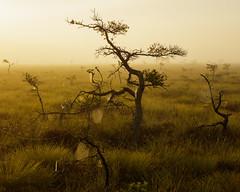 Store Mosse Nationalpark IV (Gustaf_E) Tags: landscape landskap morgon mosse myr nationalpark pine pines smland spiderweb spindelnt storemosse sverige sweden tall tree trd