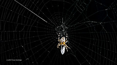 """Tethered and tied..."" (Trevdog67) Tags: tethered tied wrapped spider halloween web prey lifeanddeath life death spooky nikon d7100 sigma 150600mm 14x teleconverter 850mm video still 1080p upscaled framegrab nature fly portishead allmine cobweb"