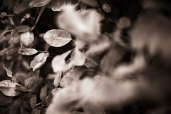 Drowned in bokeh (Budoka Photography) Tags: leaf bokeh manual monochrome canonllens canonfd50mmlf12 sonyalphailce7rm2 nature outdoor closeup dof depthoffield