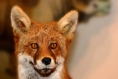 Have you been Foxed ? (Wilamoyo) Tags: yorkshiredaleswensleydale fox wildlife animal mammal creature living stuffed taxidermy fur furry face close ears bokeh nature