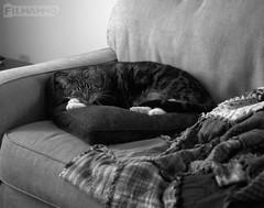 Sunday Afternoon (FilmAmmo) Tags: paulhargett filmammo haysks pentax6x7 mediumformat 120 ilfordpanf cat film housecat