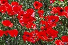 Flor010 (jmig1) Tags: zaragoza nikon d70 flor amapola ababol