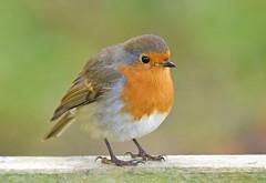 Robin (Pam P Photos) Tags: bird robin