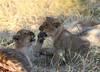 Playful brother & sister (Chris Parker2012) Tags: lions lioncub wildlife natre family botswana savute safari cats nature