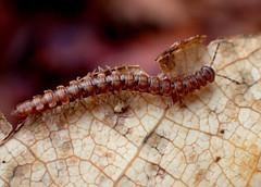 Flat-backed Millipede - Polydesmus angustus (Bugldy99) Tags: animal arthropod arthropoda diplopoda millipede myriapoda myriapod