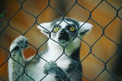 Those Eyes! (A Great Capture) Tags: emotion mood holding hands agreatcapture agc wwwagreatcapturecom adjm toronto on ontario canada canadian photographer northamerica ash2276 ashleylduffus ald mobilejay jamesmitchell fence zoo animals animal sad eyes lemur lemurcatta primate africanrainforest ringtailedlemur