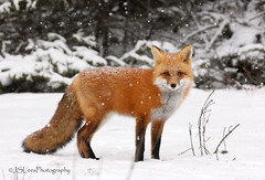 Red Fox in the snow (James Lees Photography) Tags: redfox algonquin snow winter mammals fox ontario canada