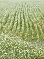 Buckwheat field  (Fujifilm X10) (potopoto53age) Tags: buckwheatfield buckwheat plant flower flowers grain grainfields whiteflowers whiteflower white autumn fujifilmx10 fujifilm x10 fujinonsuperebc21mm~112mmf20~f28 fujinon superebc 21mm~112mm f20~f28 appleaperture apple aperture potopoto53age hokutoshi yamanashi japan 北杜市 山梨県 日本