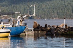 California Sea Lions - Cowichan Bay, Vancouver Island, BC, Canada (Toad Hollow Photography) Tags: wildlife sealions california dock sun basking cowichan cowichanvalley cowichanbay vancouverisland britishcolumbia bc canada