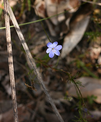 Blue Squill (philipbouchard) Tags: chamaescillacorymbosa bluesquill bluestars asparagaceae flower wildflower blue purple nannup westernaustralia australia woodland forest