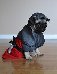 Sir Boo Lefou (DaPuglet) Tags: pug pugs dog dogs puppy puppies pet pets animal animals halloween costume knight medieval gameofthrones stark housestark sword knights
