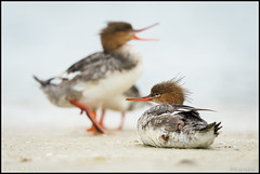 Common Mergansers @ Fort Desoto Florida (Nikographer [Jon]) Tags: merganser fortdesoto florida 2016 20160325d4219446 mar march d4 nikon nikond4 nature wildlife ducks duck action behavior beak commonmergansers common mergansers mergusmerganser mergus