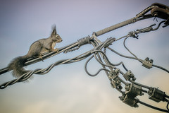 The tightrope walker (RobertFenyo) Tags: animal animals squirrel nature