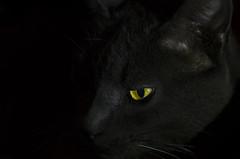 Jour 146 sur 366 (melanie photographies) Tags: projet366 photo picture photography projet365 cat chat oeil eyes noir nikon nikond5100 night animaux animal d5100 dark darkness blackbackground black background jeudelumire pictureoftheday