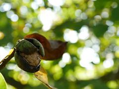 Eine Walnuss (jakob.eich) Tags: walnuss herbst walnut autumn